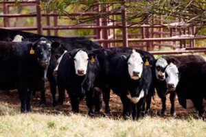 Farm and ranch loans are supporting this herd of cattle in Stillwater, OK
